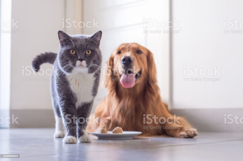 Gato shorthair britânico e Golden Retriever foto royalty-free