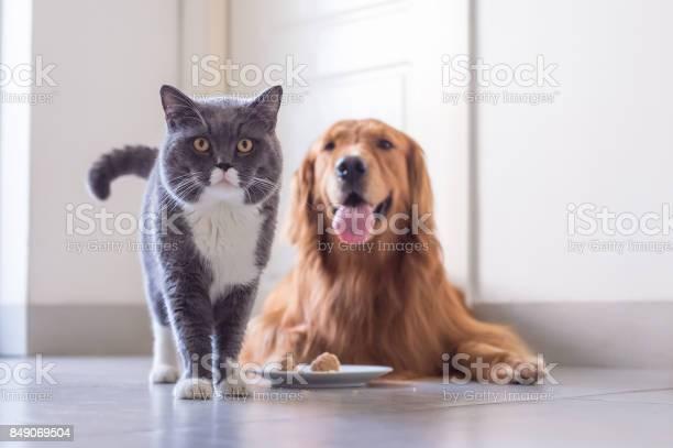 British shorthair cat and golden retriever picture id849069504?b=1&k=6&m=849069504&s=612x612&h=gtvaw qr52uqb5z3xhqz3yv3ai5wkrlxlxvohlf1br8=