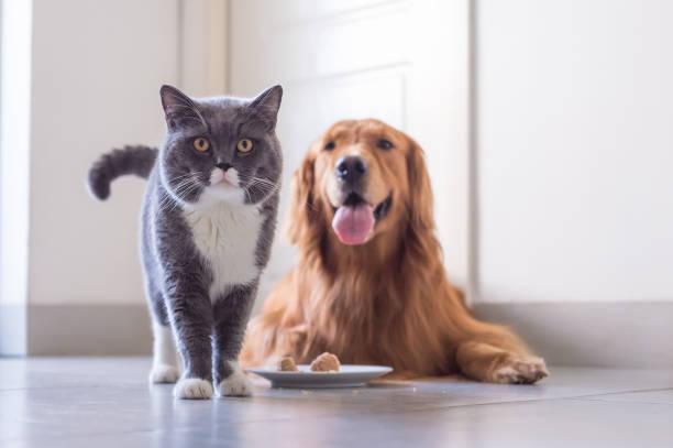 British shorthair cat and golden retriever picture id849069504?b=1&k=6&m=849069504&s=612x612&w=0&h=lkac12sak xnj1cyi44zr3aijaikyzsyqojdw9q91fi=