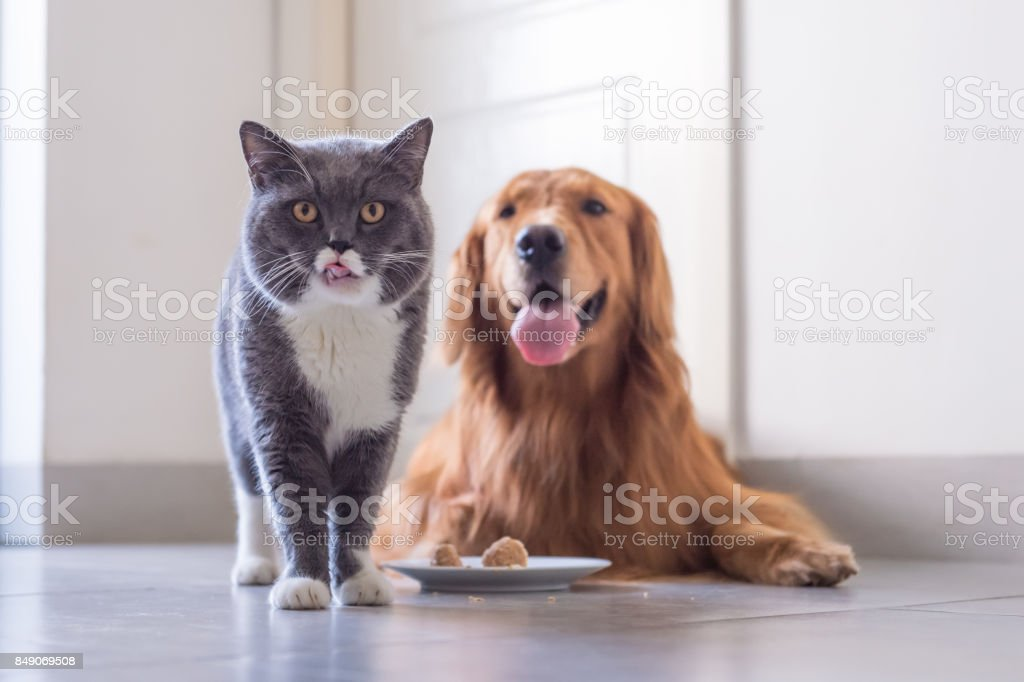 Gato shorthair britânico e Golden Retriever foto royalty-free