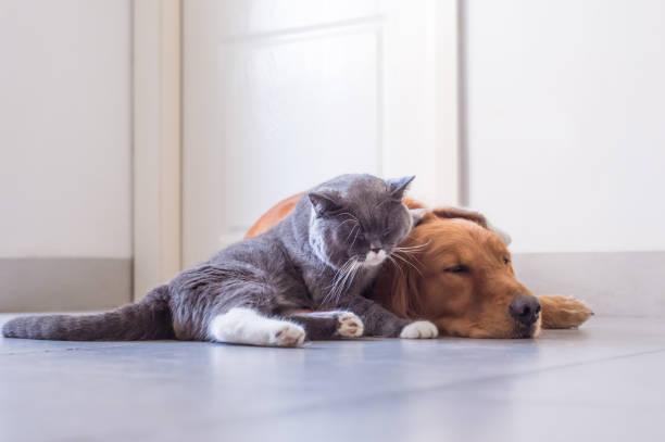 British shorthair cat and golden retriever picture id849069618?b=1&k=6&m=849069618&s=612x612&w=0&h=fij h6cthidjpcwjkf1jh6ksluhyj2ixvfruwf on u=