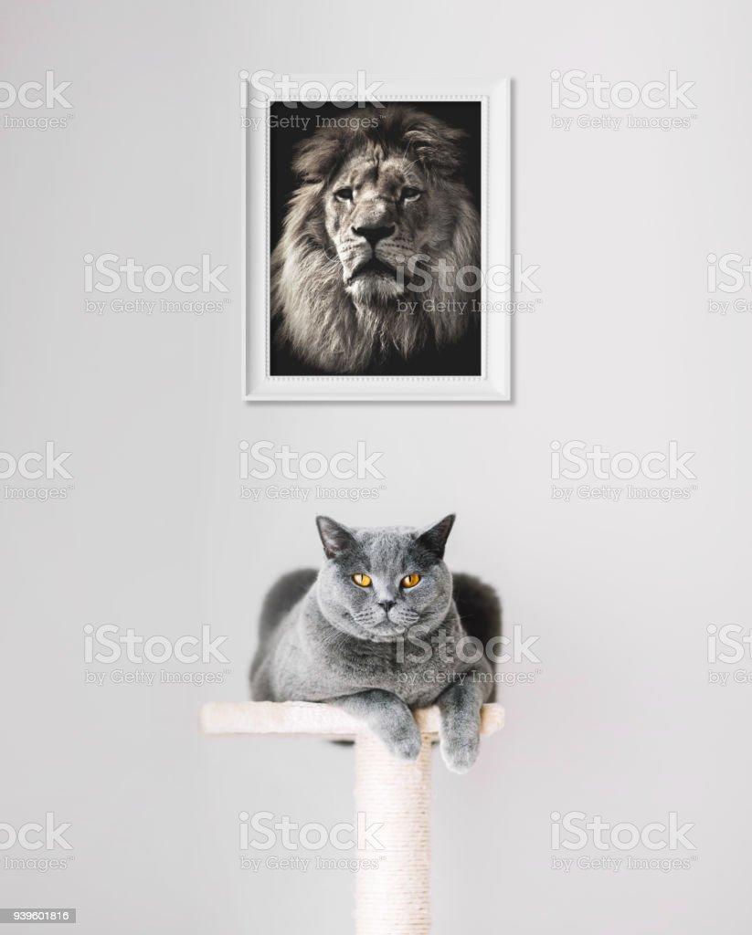British Shorthair cat and lion portrait above. stock photo