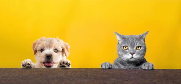 British shorthair cat and yorkshire terrier dog climbing on the top picture id1030260868?b=1&k=6&m=1030260868&s=612x612&w=0&h=uxmku8fssbvtyb0bv5j6lu7vokmin3qu4fxm8fz0vr0=