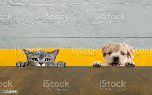 British shorthair cat and yorkshire terrier dog climbing on the top picture id1030260990?b=1&k=6&m=1030260990&s=612x612&h=1t6shdfx 9cedhz2yxlz9lqiwbwvxjpaeogbw1dymxa=