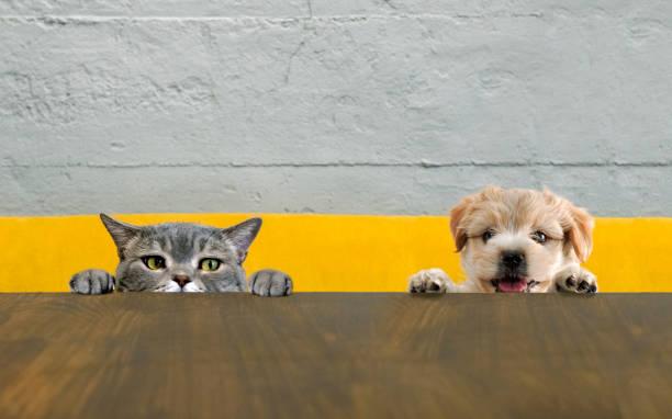 British shorthair cat and yorkshire terrier dog climbing on the top picture id1030260990?b=1&k=6&m=1030260990&s=612x612&w=0&h=b7804q7cqjwwd1cqxq85zw9t03e83gzsaxcdqdsj29k=
