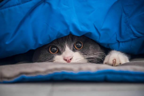 British shorthair cat hiding under the quilt and looking out – zdjęcie