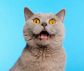 istock British Shorthair cat in front of blue background 168819909