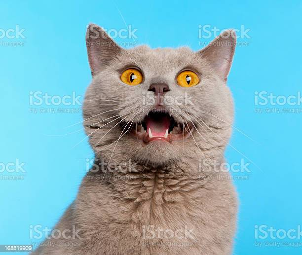 British shorthair cat in front of blue background picture id168819909?b=1&k=6&m=168819909&s=612x612&h=xwfrgboxk1osk4qakb8hsqmuzwe56tnlwqfieez qb8=