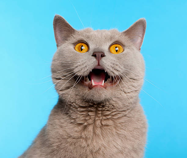 British Shorthair cat in front of blue background British Shorthair cat, 2 years old, in front of blue background mouth open stock pictures, royalty-free photos & images