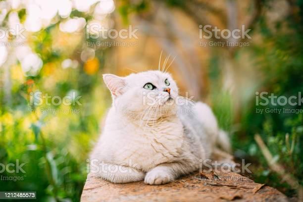 British shorthair cat in the garden picture id1212485573?b=1&k=6&m=1212485573&s=612x612&h=ubvzygx93mfkhngpwnca5ypcr qpeofq29wvzo2zj e=