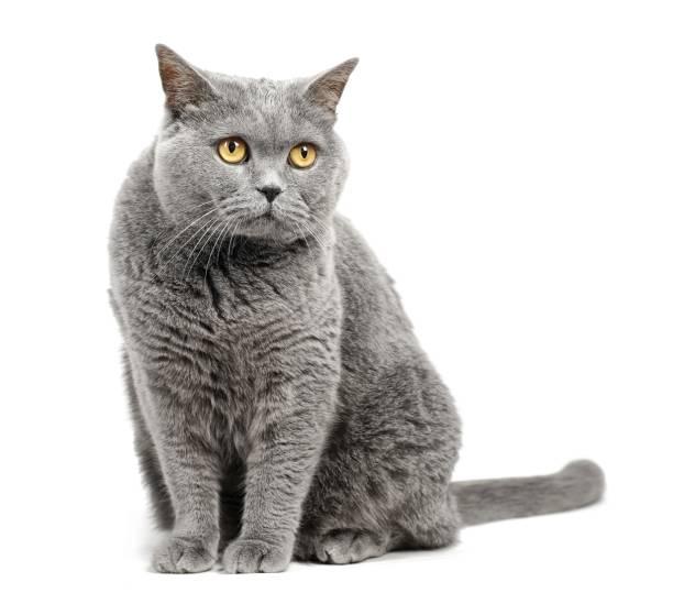 British shorthair cat isolated on white background. stock photo