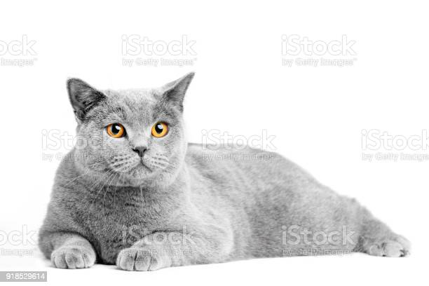 British shorthair cat isolated on white lying picture id918529614?b=1&k=6&m=918529614&s=612x612&h= ths4expseoq94mriygnouya7jywwxhovxohdw1zepe=