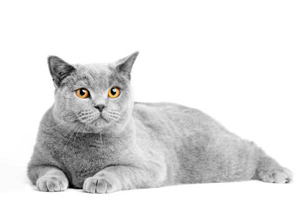 British shorthair cat isolated on white lying picture id918529614?b=1&k=6&m=918529614&s=612x612&w=0&h=a3fru2nhzmzgyv1ghasxnn9s4efmziozcjp2nqqgp30=