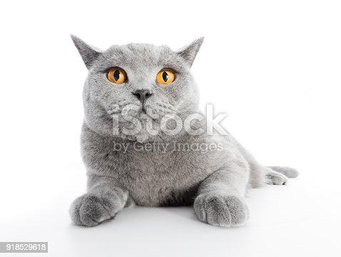 istock British Shorthair cat isolated on white. Lying 918529618
