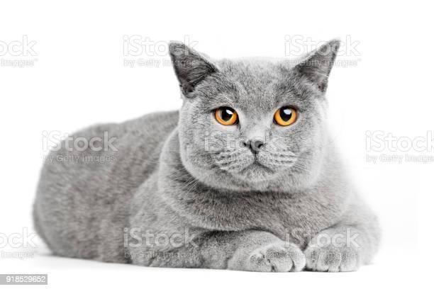 British shorthair cat isolated on white lying picture id918529652?b=1&k=6&m=918529652&s=612x612&h=sb10bf5qwcy1mjvgrj08 diw7vgs6r96vwwyu0lkcn0=