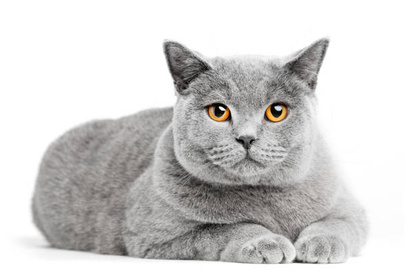 British shorthair cat isolated on white lying picture id918529652?b=1&k=6&m=918529652&s=612x612&w=0&h=dt7jkparpoyf8fudm39o7ppkezbvgfg1gnbqorfnvki=