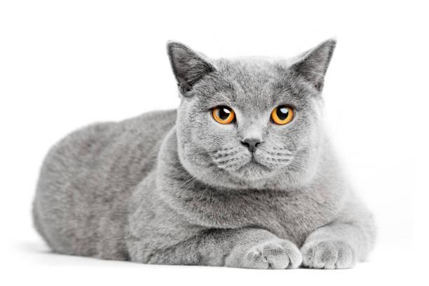 Chat British Shorthair isolé sur blanc. Couché - Photo