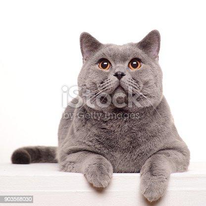 istock British Shorthair cat isolated on white. 903568030