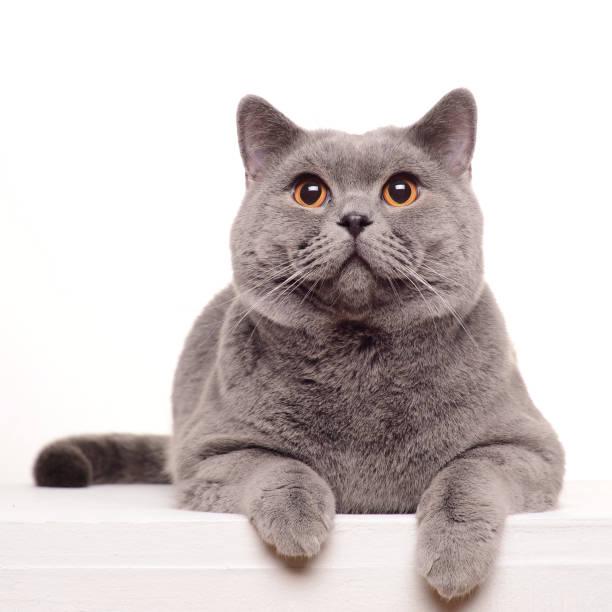 Chat British Shorthair isolé sur blanc. - Photo