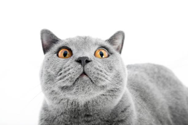 British shorthair cat isolated on white surprised picture id918529572?b=1&k=6&m=918529572&s=612x612&w=0&h=yay 5x06ogos mx35 rksc1g zmkksjtjzmg1gsvmfy=