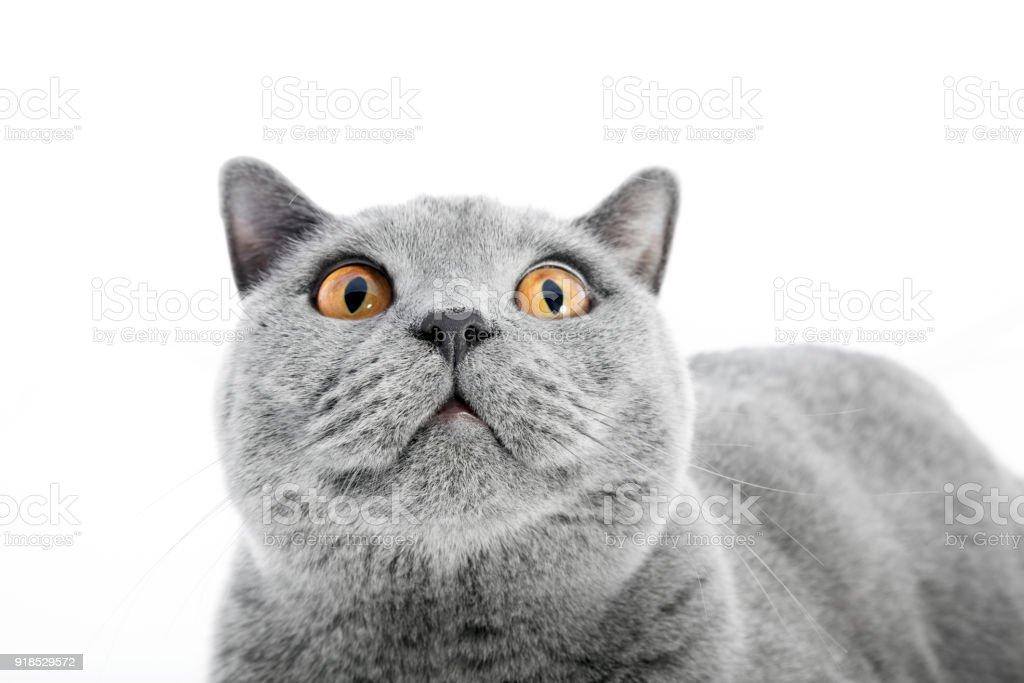 Gato británico de pelo corto aislado en blanco. Sorprendido - foto de stock