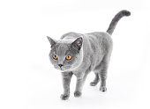 British Shorthair cat isolated on white. Walking, wide angle