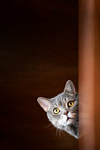 British shorthair cat lock on target at home.