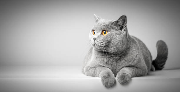 British Shorthair cat lying on white table. Copy-space stock photo