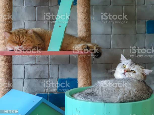 British shorthair cat lying on wooden floor looking at copyspace picture id1168771739?b=1&k=6&m=1168771739&s=612x612&h=kqxl1dljnhqked x4jpjp901ujyiutmdtgfy6lcsyge=