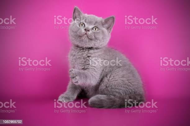 British shorthair cat on colored background picture id1052955702?b=1&k=6&m=1052955702&s=612x612&h= ykeuz6jkxeqgoyoi 2431m7nhykjt6b5dzi17tec64=