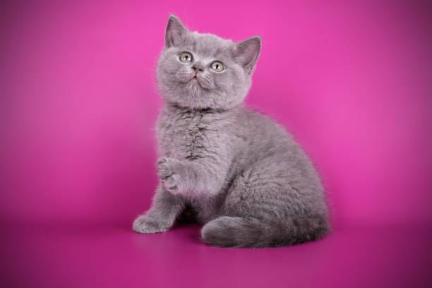 British shorthair cat on colored background picture id1052955702?b=1&k=6&m=1052955702&s=612x612&w=0&h=tol2p vi3 skzswurzzigp9vqblcbzeqzwo slzb1qm=