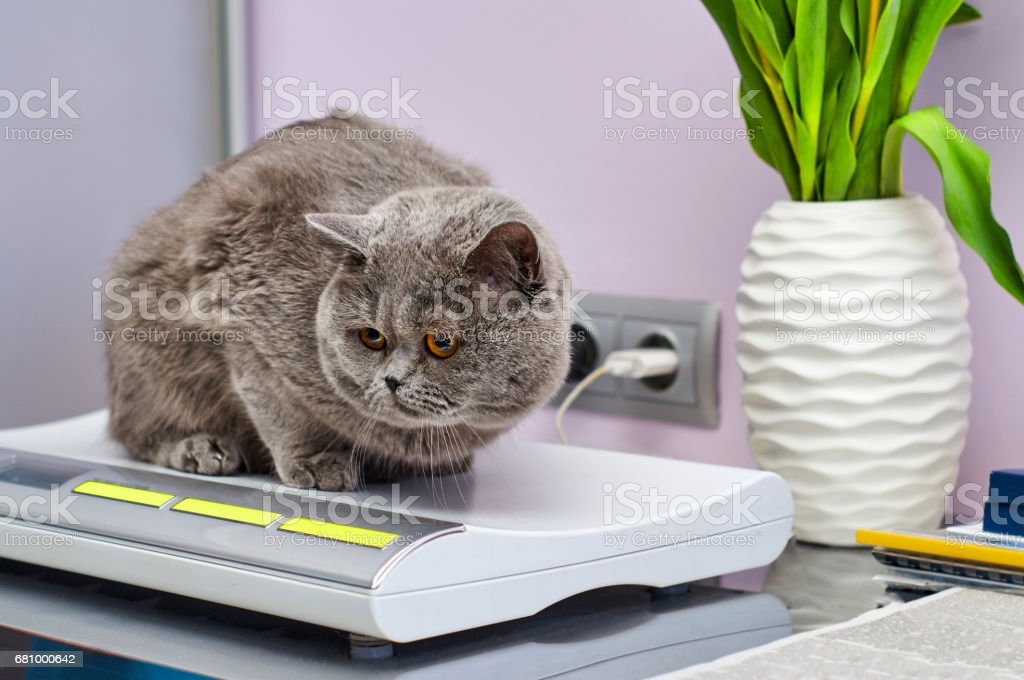 British Shorthair cat on scales stock photo