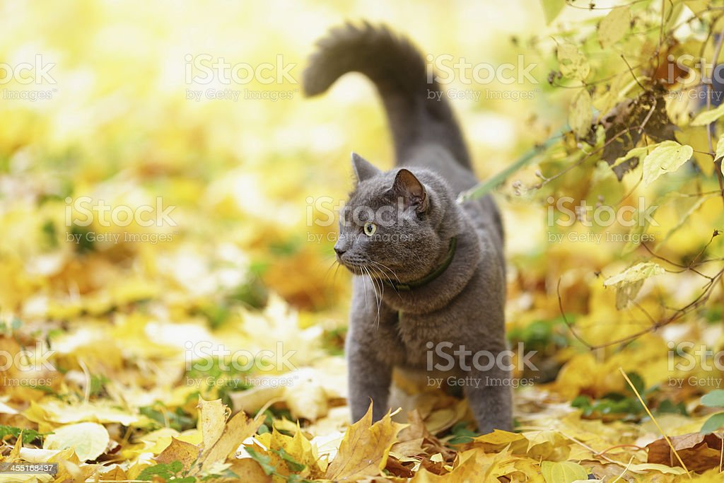 british shorthair cat outdoor walking in harness stock photo