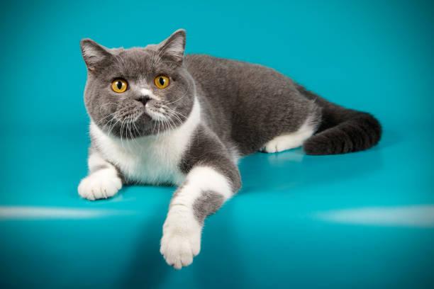 British shorthair cat picture id1015828378?b=1&k=6&m=1015828378&s=612x612&w=0&h=x nwh1fkqigesyof hwulkel7ef8s  4vp74rmed5ga=