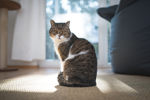 tabby british shorthair cat standing in front of window looking back over shoulder