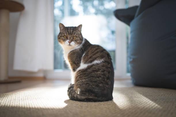 British shorthair cat picture id1093535188?b=1&k=6&m=1093535188&s=612x612&w=0&h=htegdbqony 2uacsjfkvh9xoxxvqc5tvaqyqscer1zu=