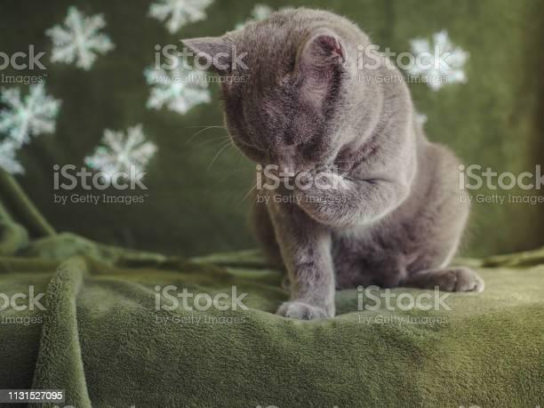 British shorthair cat picture id1131527095?b=1&k=6&m=1131527095&s=612x612&h=hodz0 ofw8amqmje1oqzpfnum1pznzk2xklb5brordm=