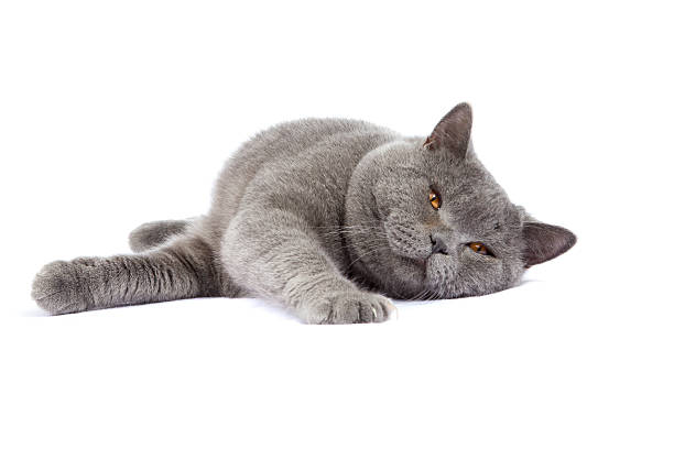 British shorthair cat picture id177106896?b=1&k=6&m=177106896&s=612x612&w=0&h=e0sthf55gdsow55frr6q32u1yqxtcpizzsiimmzhleq=