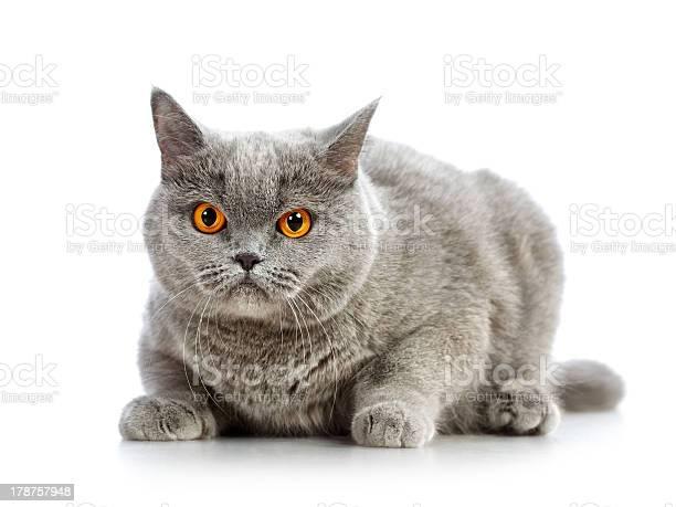 British shorthair cat picture id178757948?b=1&k=6&m=178757948&s=612x612&h=z9 cw0wcv6l4wcwbqmevikylrs v0z8ze po8ojz6v0=