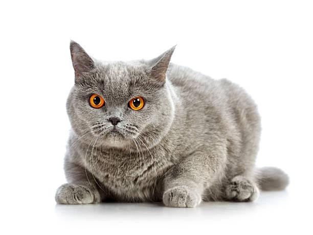 British shorthair cat picture id178757948?b=1&k=6&m=178757948&s=612x612&w=0&h=u wcym9 jfmpj5onuj89oi mdk kgfglmpn3reyjnew=