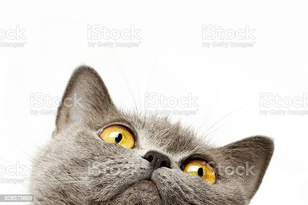 British shorthair cat picture id528373669?b=1&k=6&m=528373669&s=612x612&h=kmkgcl3axi2 d idpzgtfqjhgruv805os6foiryddwo=