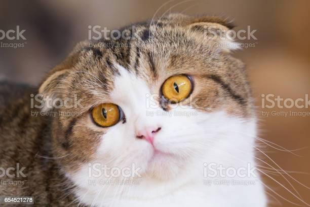 British shorthair cat picture id654521278?b=1&k=6&m=654521278&s=612x612&h=a pl6zs3iqaf5yftilre6czisqivothu9b8biwkpy9e=