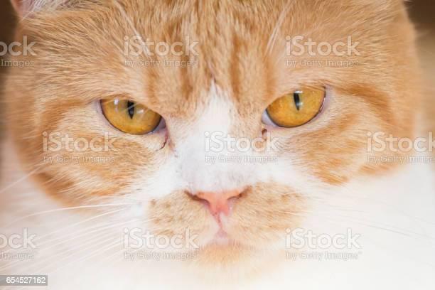British shorthair cat picture id654527162?b=1&k=6&m=654527162&s=612x612&h=hlv2fs6agu6o0erylk r klmqbfdbk7wjl3o2t9vhnk=