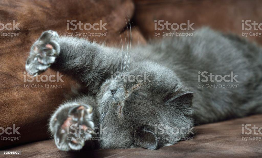 British Shorthair cat. royalty-free stock photo