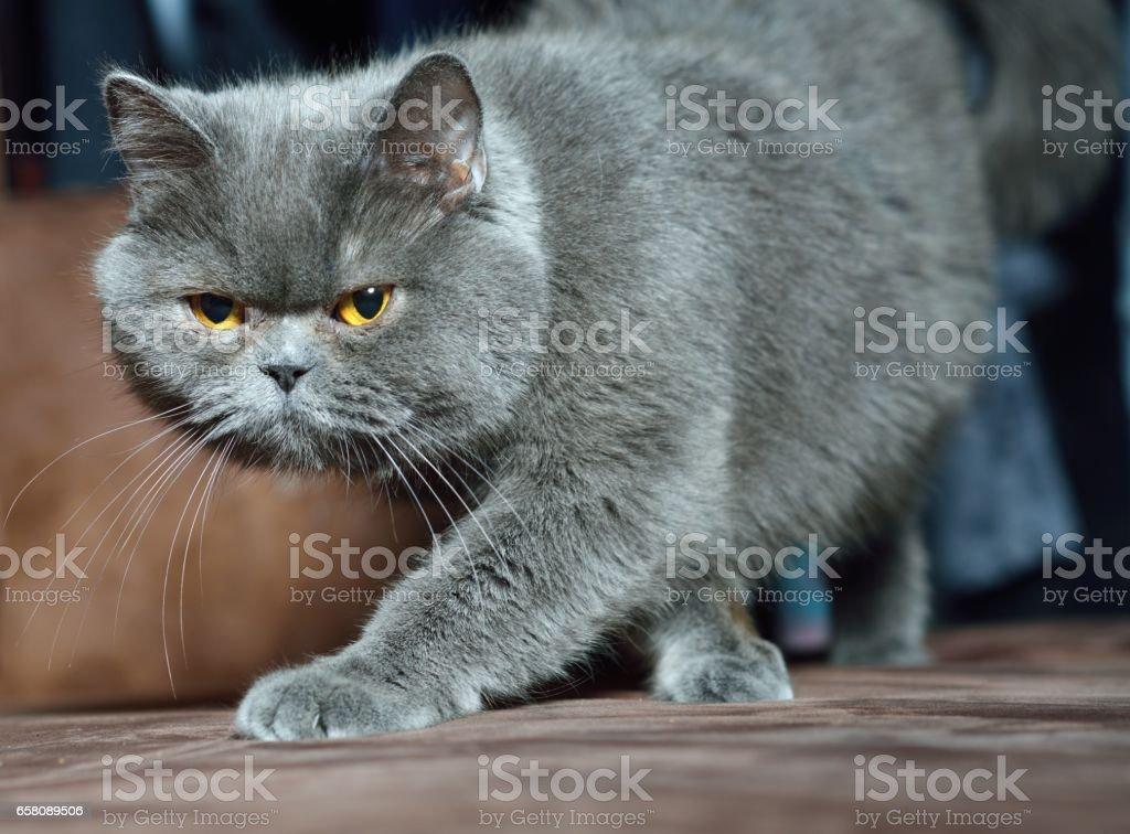 British Shorthair cat. royalty-free stock photo