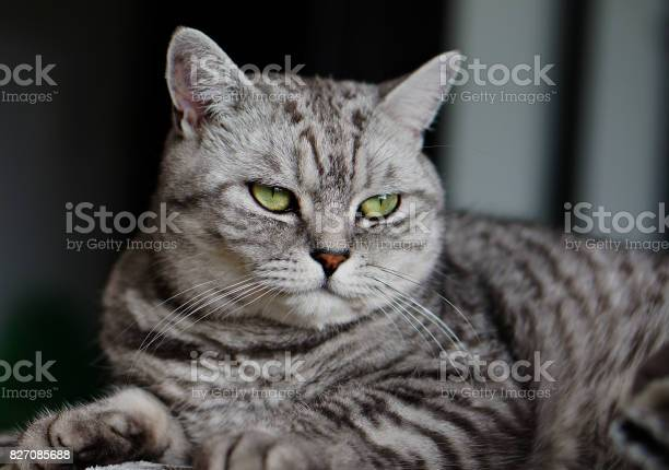British shorthair cat picture id827085688?b=1&k=6&m=827085688&s=612x612&h=oqpcu7e7ilrllqstnb50wt2jaxyuetof44jcji7wchg=