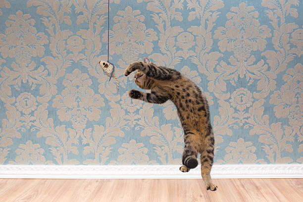 British shorthair cat plays and jump – Foto