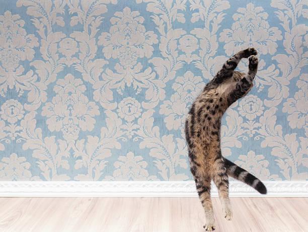 British shorthair cat plays and jump picture id618210030?b=1&k=6&m=618210030&s=612x612&w=0&h=afud0hcy4qxptlol3l b4wpbxdfs6qiborg1fmvu1ui=
