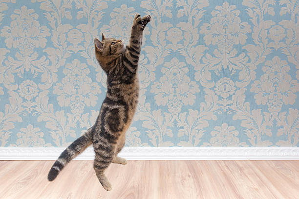 British shorthair cat plays and jump picture id618210260?b=1&k=6&m=618210260&s=612x612&w=0&h=h5 rvp8zijfuosr6bbd 2o6xgaxyekuvi5weom5hafc=
