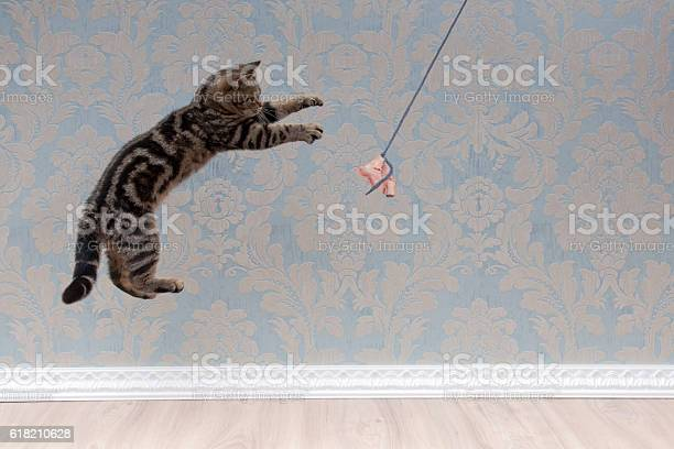 British shorthair cat plays and jump picture id618210628?b=1&k=6&m=618210628&s=612x612&h=zrioe7he6vebtgpaiy60mvtymxfamdidekmqaimxmwm=